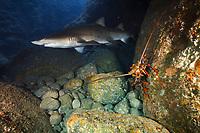 sand tiger shark, Carcharias taurus, aka grey nurse shark, spotted ragged-tooth shark, or blue-nurse sand tiger, and Japanese spiny lobster, Panulirus japonicus, in cave, Chichi-jima, Bonin Islands, Ogasawara Islands, Natural World Heritage Site, Tokyo, Japan, Pacific Ocean