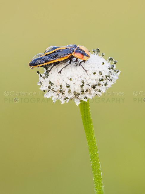 A dew covered firefly (Pyractomena ecostata) perches on a Pineland Bogbutton (Lachnocaulon dygynum) inflorescence in the early morning.