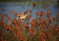 Male Least Bittern in flight in golden evening light in breeding colors