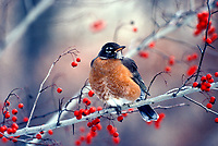 Robin, Turdus migratorius,  perched on branch of thorn tree with red berries on snow lit day, December