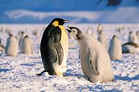 emperor penguins, Aptenodytes forsteri, chick begging for food from parent, Cape Washington, Antarctica