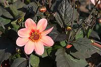 Dahlia Happy Single First Kiss, single pinkish salmon type with dark foliage