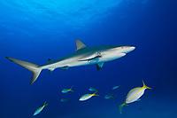 Caribbean Reef Shark, Carcharhinus perezii, and Yellowtail Snappers, Ocyurus chrysurus, West End, Grand Bahamas, Atlantic Ocean