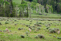 Wild Coyotes (Canis latrans) hunt in sage covered valley, Western U.S., June.
