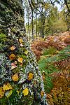 Lichen covered birch trunk and woodland. Aigas Field Centre, near Inverness, Scotland. October