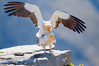Egyptian Vultures (Neophron percnopterus), copulation, mating, Pyrenees, Aragon, Spain, Europe
