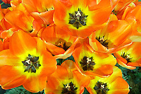 Close up of tulips. Tulip Town. Mt. Vernon. Washington