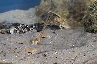 Antennenkrebs, Männchen im Sand eingegraben, Antennen-Krebs, Maskenkrabbe, Masken-Krabbe, Corystes cassivelaunus, Corystes dentatus, masked crab, helmet crab, sand crab, male