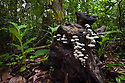 Toadstools growing on tree stump in tropical rainforest. Danum Valley, Sabah, Borneo.