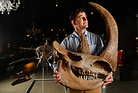 BNPS.co.uk (01202 558833)<br /> Pic: ZacharyCulpin/BNPS<br /> <br /> PICTURED: Rupert van der Werff with a Woolly Rhinoceros Skull available for £8000. <br /> <br /> A collection of Jurassic Park-like fossilised amber containing 100 million year old insects has emerged for sale at auction.<br /> <br /> The 12 translucent lumps of the prehistoric resin date back to when dinosaurs walked the earth.<br /> <br /> At least five of the samples hold the perfectly preserved form of insects including a mosquito, a spider, a scorpion and a cockroach.<br /> <br /> In Steven Spielberg's classic 1993 film starring Richard Attenborough dinosaurs are reintroduced to the world by extracting their DNA from a mosquito preserved in amber.