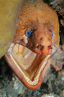 yellow moray, Gymnothorax prasinus, Shiprock, Port Hacking, Sydney, New South Wales, Australia, South Pacific Ocean