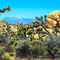 Joshua Trees and desert vegetation with boulder rocks and snow-capped mountains in the background, in Joshua Tree National Park, California USA