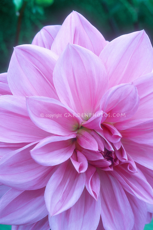 Dahlia Lilac Time, large dinnerplate type flower