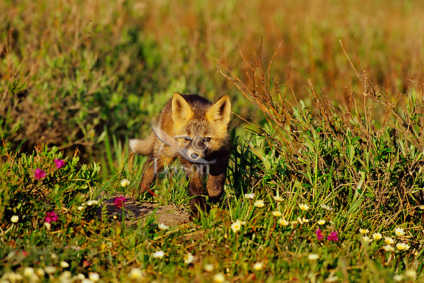 RED FOX (Vulpes vulpes) pup near densite in Alaska arctic.  June.  Pup has the coloration and markings of what is called a cross fox.