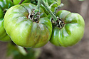 Tomatoes infected with blight. Sometimes known as tomato late blight to distinguish it from tomato early blight, caused by a different fungus: Alternaria solani.. Sometimes known as tomato late blight to distinguish it from tomato early blight, caused by a different fungus: Alternaria solani.