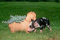 Black and white potbelly piglet investigates an imposter