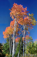 Aspen colonies have genetic colors which vary from colony to colony. Aspens are the first tree life to emerge after a fire because the roots are below the heat of the fire, with new sprouts growing after the fire burns out.
