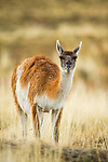 Guanaco (Lama guanicoe) feeding on grass, Torres del Paine National Park, Patagonia, Chile
