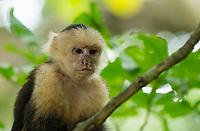 White-faced Capuchin, Cebus capucinus, on a branch in Manuel Antonio National Park, Costa Rica
