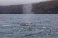 Buckelwal, Blas, Buckel-Wal, Wal, Wale, Megaptera novaeangliae, humpback whale, blow, La baleine à bosse, la mégaptère, la jubarte, la rorqual à bosse, Walsafari, Walbeobachtung, Island, whale watching, Iceland