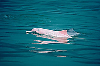 Chinese white dolphin or Indo-Pacific Ocean humpback dolphin, Sousa chinensis, note abscense of hump, Hong Kong, China