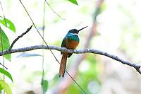 Rufous-tailed Jacamar, El Ceibal, Guatemala