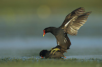 Common Moorhen, Gallinula chloropus, pair mating, Welder Wildlife Refuge, Sinton, Texas, USA