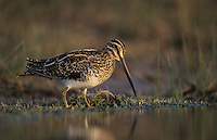Common Snipe, Gallinago gallinago, adult, Willacy County, Rio Grande Valley, Texas, USA
