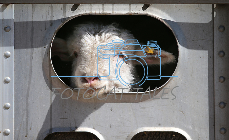 One of the lambs in a truckload of sheep watches the action as unloading begins in Carson City on Thursday, April 17, 2014. Approximately 1,000 ewes and lambs will graze the hills along the west side of Carson City as part of a program to reduce cheat grass and other fire fuels. (Las Vegas Review-Journal/Cathleen Allison)