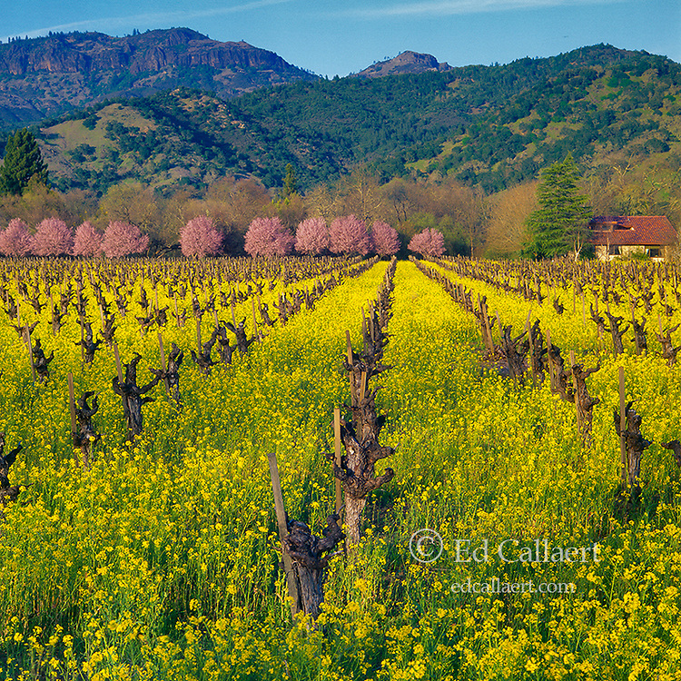 Mustard, Plum Blossoms, Vineyard, Calistoga, Napa Valley, California