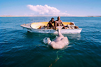 dugong or sea cow, Dugong dugon, struggles for air as hunters drown it, King Sound, Western Australia