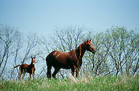Mare and foal, registered quarterhorse and palomino, in tall grass spring, Midwest