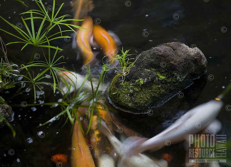 Close up of koi fish in a pond with moss covered rock and plants