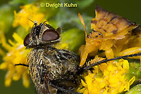 AM02-559z   Ambush Bug female, feeding on fly prey with long sharp beak, Phymata americana