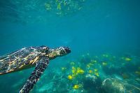 A woman snorkles at a distance from a green sea turtle or honu near Pu'uhonua o Honaunau, or the City of Refuge, near Kealakekua Bay, Big Island