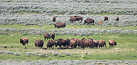 """The """"bison funeral"""" takes place when a herd comes to a carcass of one of their fallen comrades.  Much like elephants, bison seem to recognize their own, even in death."""