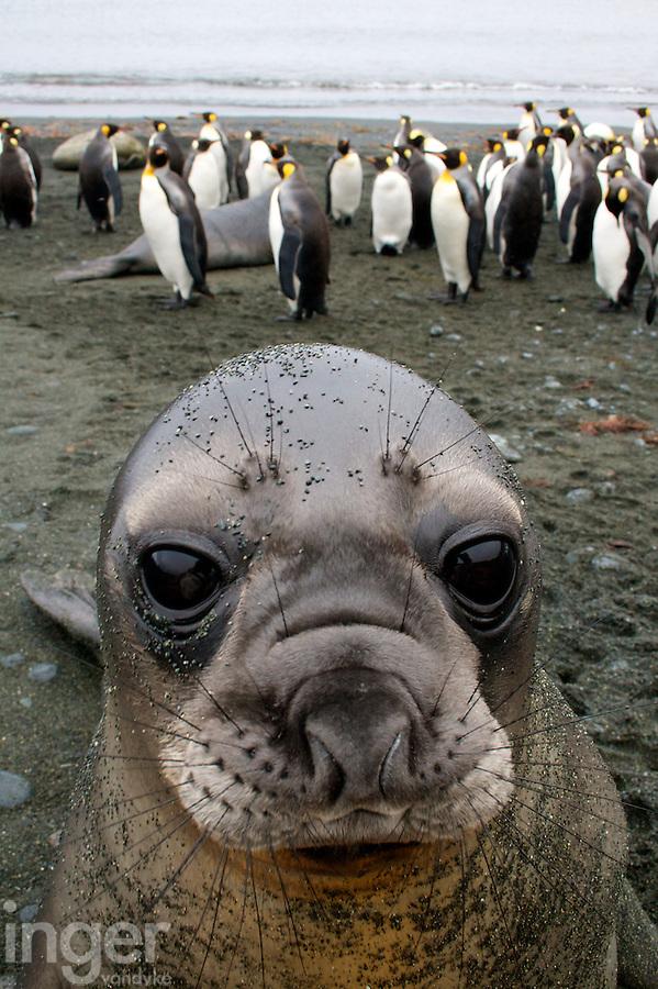 Southern Elephant Seal Portrait, Macquarie Island, Antarctica