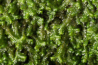 Leafy Liverwort (Bazzania trilobata). Close-up, growing on north facing slump boulder in hemlock lined hollow, Hocking State Forest, Ohio, USA. 1/2 X at 35mm.