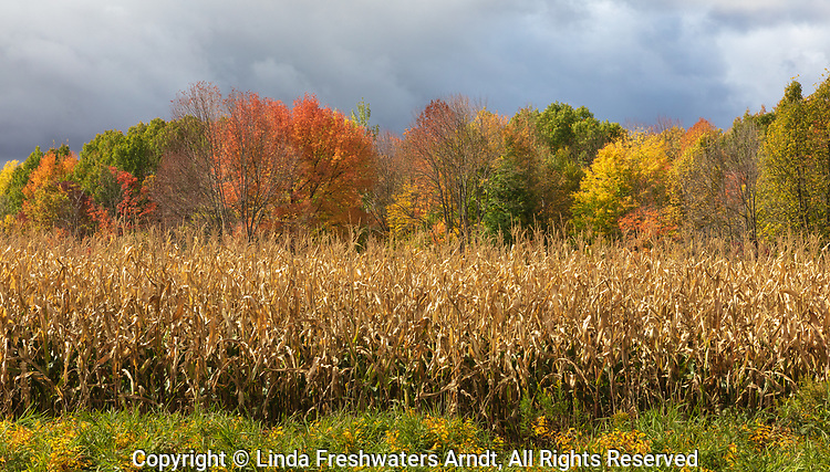 Stormy weather, fall colors, and a field of standing corn in northern Wisconsin.