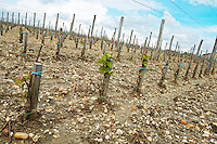 New densely planted vineyard 13,500 vines / ha sandy gravelly soil chateau la garde pessac leognan graves bordeaux france