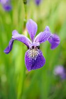 Marginal and Aquatic Iris