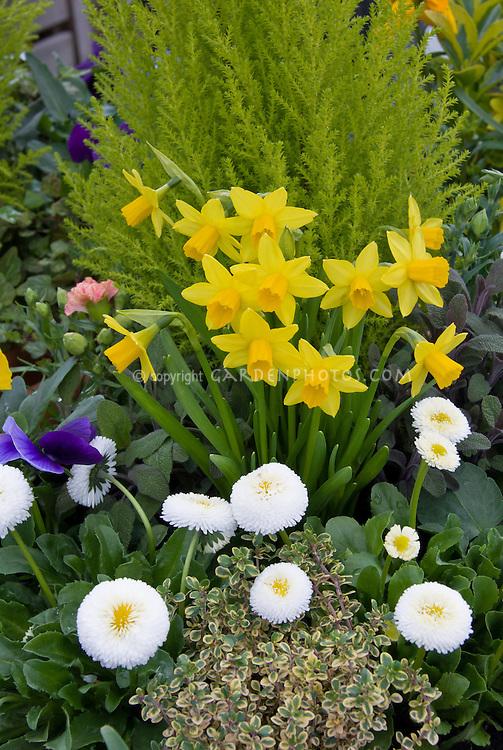 Pomponette series Bellis, dwarf Narcissus, sedum in spring plant combination in pot, English daisies