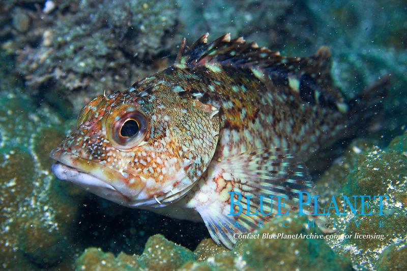 Rockfish, Sebastiscus marmoratus , Seopsom island, Jeju-Do, South Korea (East Sea)