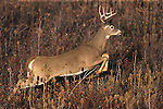 Running Whitetail buck in Montana with unusual antlers growing across each other