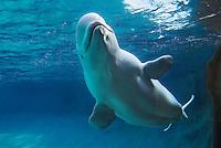 Beluga Whale (Delphinapterus leucas).
