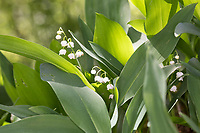 Gewöhnliches Maiglöckchen, Mai-Glöckchen, Convallaria majalis, Life-of-the-Valley, Lily of the valley, Muguet, muguet de mai