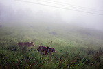 Cattle graze on a misty meadow near Cherrapunji in East Khasi Hills - the wettest place on Earth, nestled in north east of India. Arindam Mukherjee