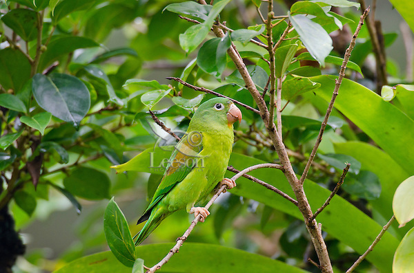 Orange-chinned Parakeet or Tovi Parakeet (Brotogeris jugularis).  Found in Central America south to northern South America.  This one photographed in Costa Rica.