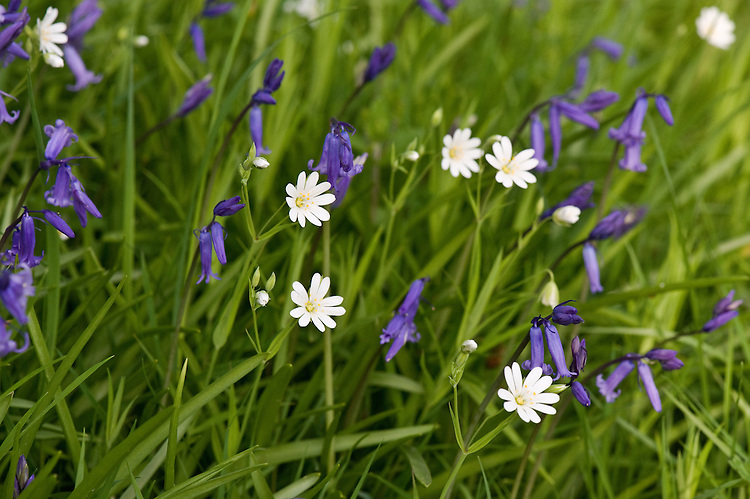 Greater stitchwort (Stellaria holostea) and bluebells (Hyaconthoides non-scripta), East Sussex, early May.