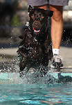 Lady enjoys the third annual Pooch Plunge at the Carson Aquatic Facility in Carson City, Nev., on Saturday, Sept. 17, 2011. The event, which raises money for Parks 4 Paws, continues Sunday with sessions at 9 a.m., 11 a.m. and 1 p.m..Photo by Cathleen Allison